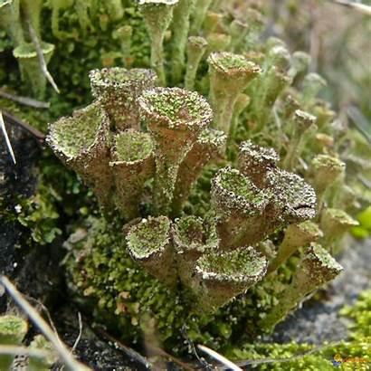 Lichen Joli Moss Fungi Bing Nature Visoflora