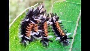 Lots Of Baby Tussock Caterpillar Or Milkweed Tiger Moth