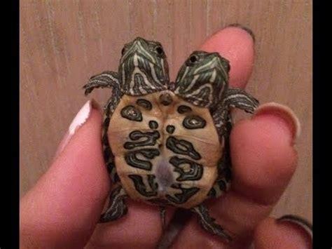 siamese  headed turtles update selling youtube