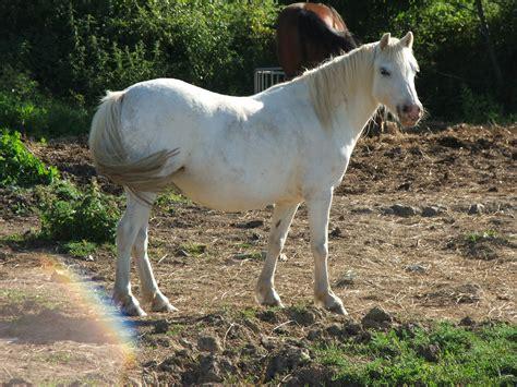 welsh ponies suzie pony