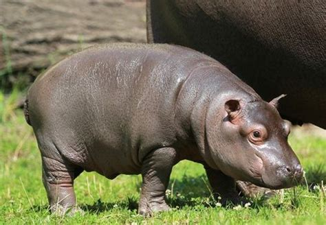baby hippo baby hippo facts baby animal facts