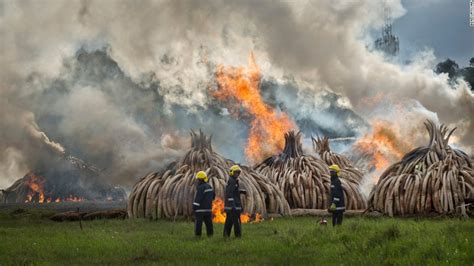Millions Of Dollars Of Tusks, Horn Burn In Kenya
