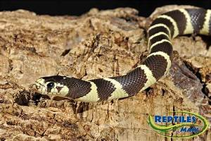 King Snake Care Sheet - Reptiles by Mack