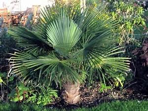 Palmier De Jardin : palmier comment planter cultiver et entretenir des ~ Nature-et-papiers.com Idées de Décoration