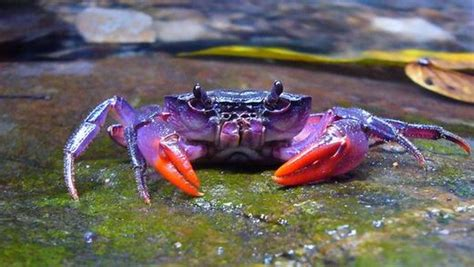 colorful crab colorful crab species discovered in the philippines