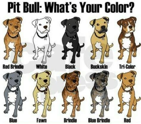 pitbull colors pitbull color chart pitbull puppies