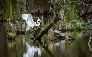 Egret In The Swamp Photograph by Gabrielle Harrison