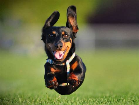 ridiculously fast dachshund totally smokes  human
