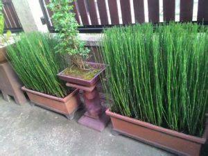 merawat tanaman bambu air tumbuh cantik