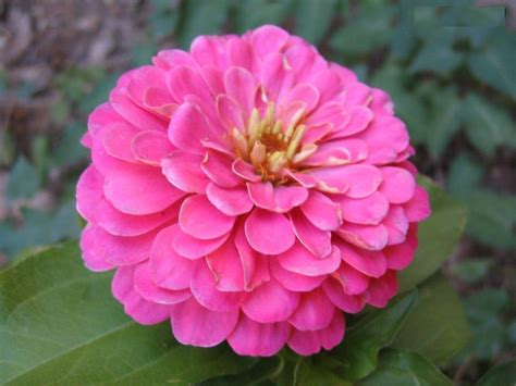 where do flowers grow growing zinnia flowers orchid flowers