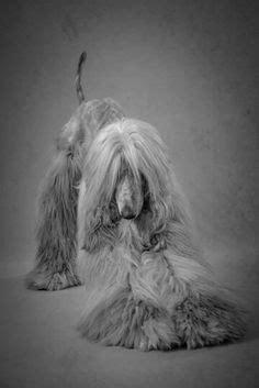 favorite afghan hound dog  pictures