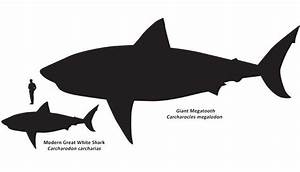 How Big Are Great White Sharks