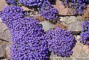 Winterharte Stauden Lila : pflanzen f r die bepflanzung von garten und trockenmauern ~ Markanthonyermac.com Haus und Dekorationen