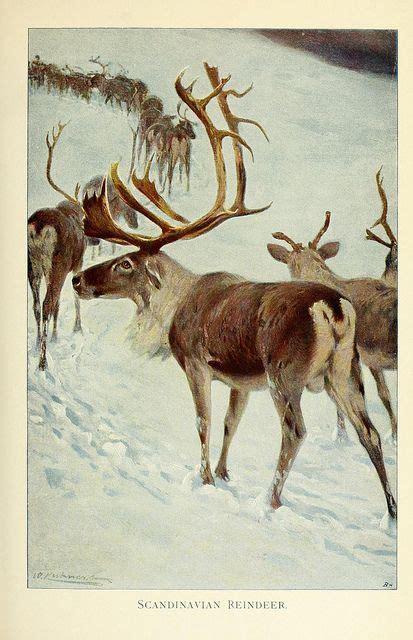 scandinavian reindeer  biodivlibrary  flickr wild