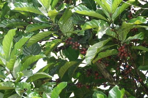 Coffee Tree Pictures, Facts On Coffee Trees Fair Trade Decaffeinated Coffee Beans Production Uk Does Help The Poor Black Rock Vista Ca Tesco Espresso Maker Caffitaly And Bagel How To Use