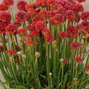 Armeria pseudarmeria 'Ballerina Red' - Daiļā armērija   Red, Ballerina, Plants