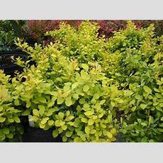 Berberis 'tiny Gold'  Planthaven International