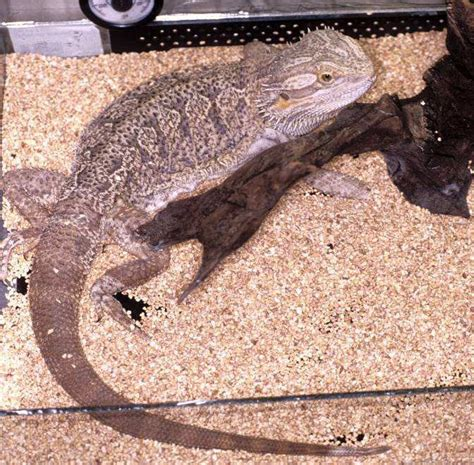 geco in casa tenere un geco in casa un geco diurno phelsuma sp