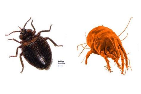 dust mites  bed bugs     difference