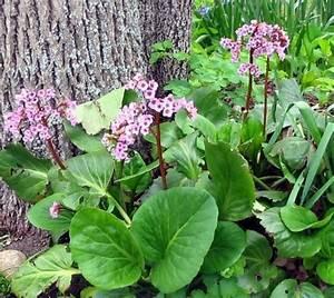 Blumen Für Schatten : die bergenie im garten unter einen baum im schatten ~ Lizthompson.info Haus und Dekorationen