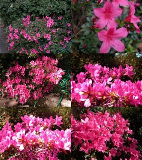 how fast do azaleas grow how fast do azaleas grow garden guides