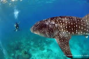 Philippines Whale Shark Diving