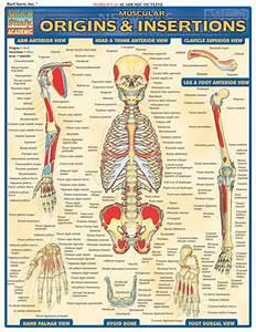 Barcharts Muscular Origins  U0026 Insertions Quick Study Guide