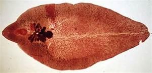 Fasciola Hepatica In Ruminants