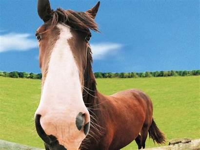 Horse Farm Animals Wallpapers Funny Windows Theme