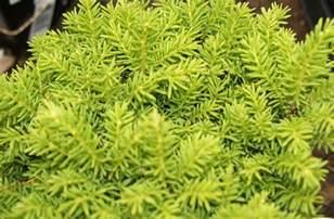 evergreen border shrubs low growing evergreen shrubs 2017 home garden