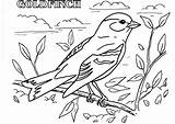 Goldfinch American Print Drawing Coloring Pages sketch template