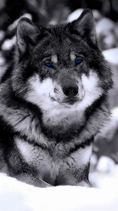 Wolf Wallpapers Iphone Lone Animal Mobile Backgrounds