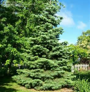 Fir Tree Identification