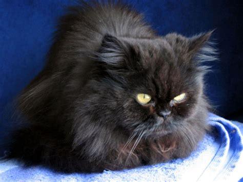 image de chat persan noir image de