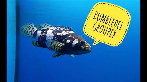 grouper bumblebee fish