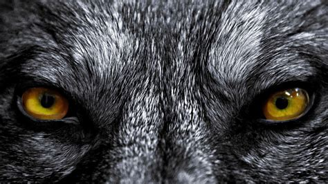 Real Scary Wolf Wallpaper by Wolf Live Wallpaper For Android Apk