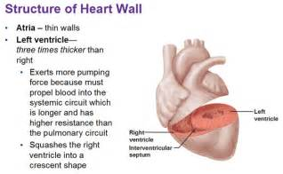 Ventricles of the Heart Walls Thick and Thin