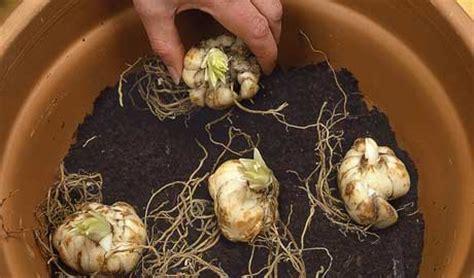 how to overwinter bulbs the garden of eaden