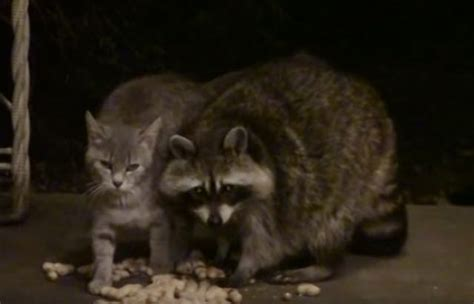 feral cat adores raccoon   adorably odd friendship