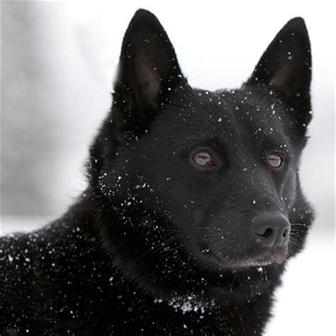 black norwegian elkhound breed guide learn