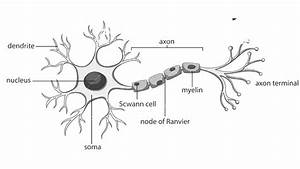 How To Draw Structure Of Neuron  Neuron Diagram Labelled
