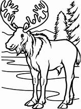 Moose Coloring Pages Christmas Forest Temperate Deciduous Animals Cute Winter Summer Printable Wild Amy Lake Getcolorings Cottage Host sketch template