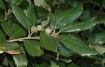 Quercus ilex (Fagaceae) image 33818 at