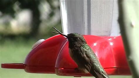 hummingbird   broken beak youtube