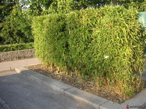 haie de bambous taills gaillard haute savoie les galeries photo de plantes de gardenbreizh