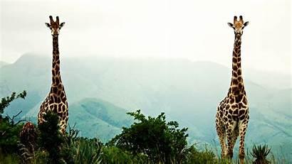Giraffe Wallpapers Giraffes Christmas Wallpapersafari Sunset Iphone