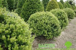 Ilex Crenata Krankheiten : ilex crenata 39 green hedge 39 bol tuincentrum baeten ~ Orissabook.com Haus und Dekorationen