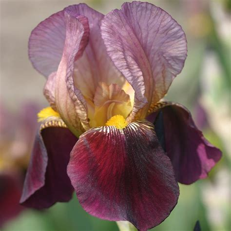 buy bearded iris iris indian chief