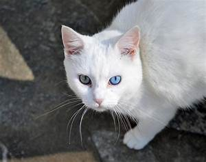 Eyes Beautiful White Cat Different Color Blue Eye Green ...