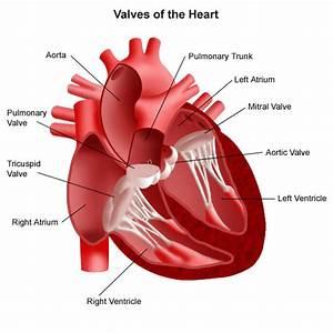 Heart Valve Anatomy  U0026 Function